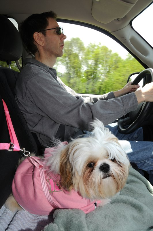 shih tzu in car safety harness