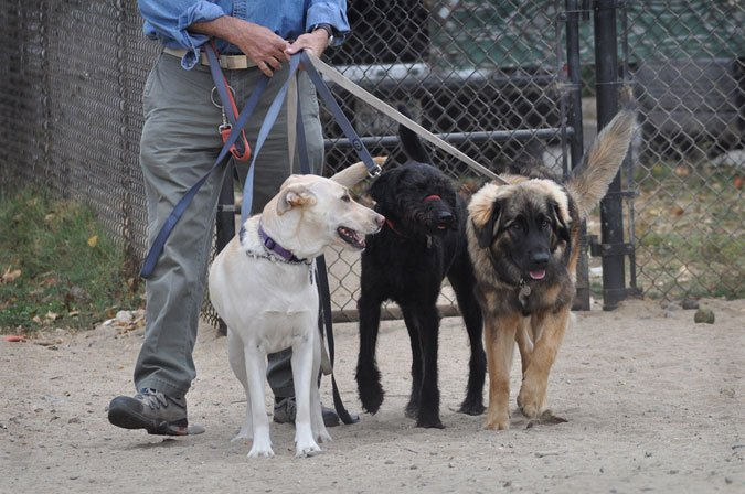 professional dog walkers are taking over cities across the country