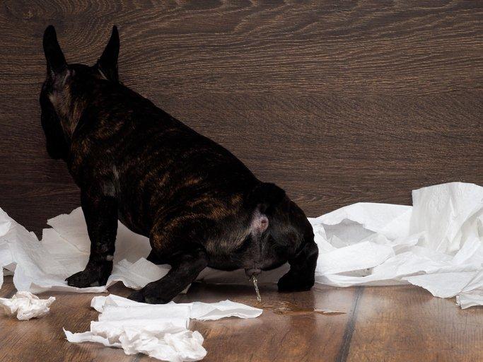 dog peeing on floor