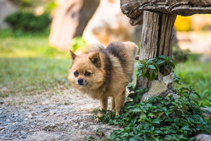 little dog peeing outside