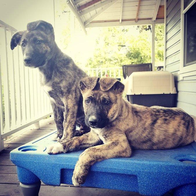 pitbull shepherd mix puppies