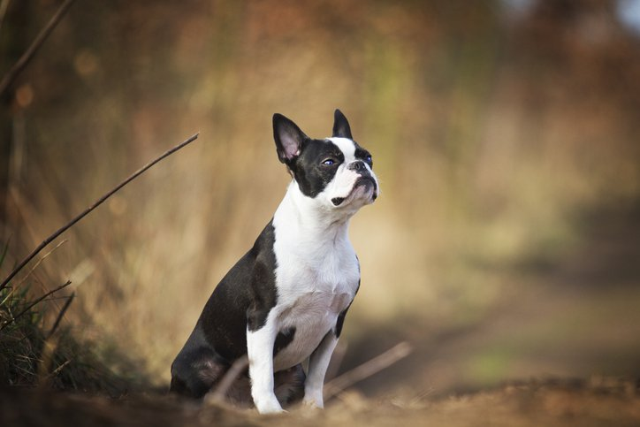 sitting boston terrier