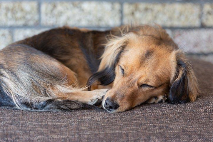 sleeping daschund