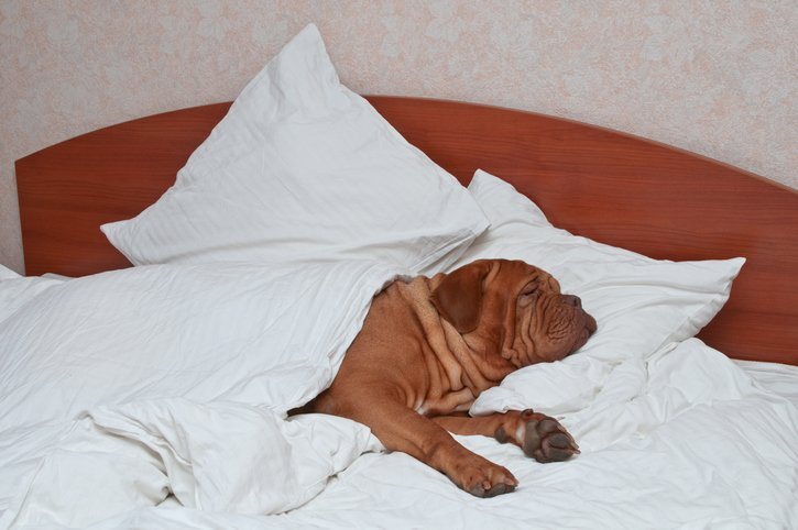 mastiff sleeping in bed
