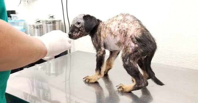 carpal hyperflexion in manged puppy