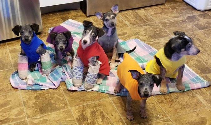 mange puppies with splinted legs
