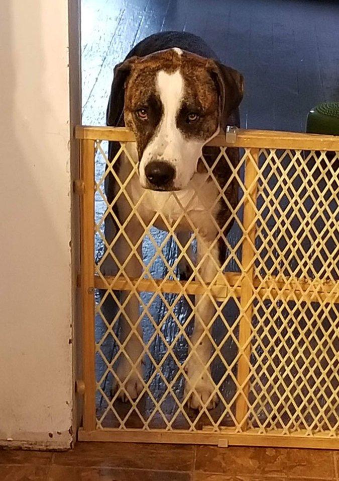 dog behind baby gate