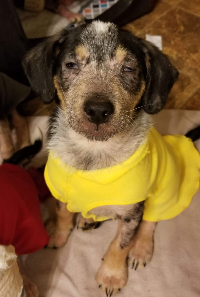 mange puppy eye problems