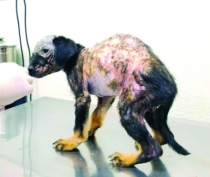 puppy with severe mange
