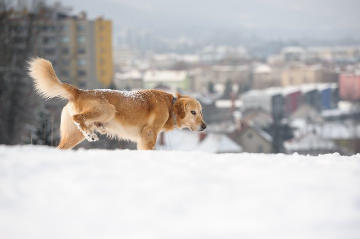 GOLDEN RETRIEVER PEEING IN THE SNOW