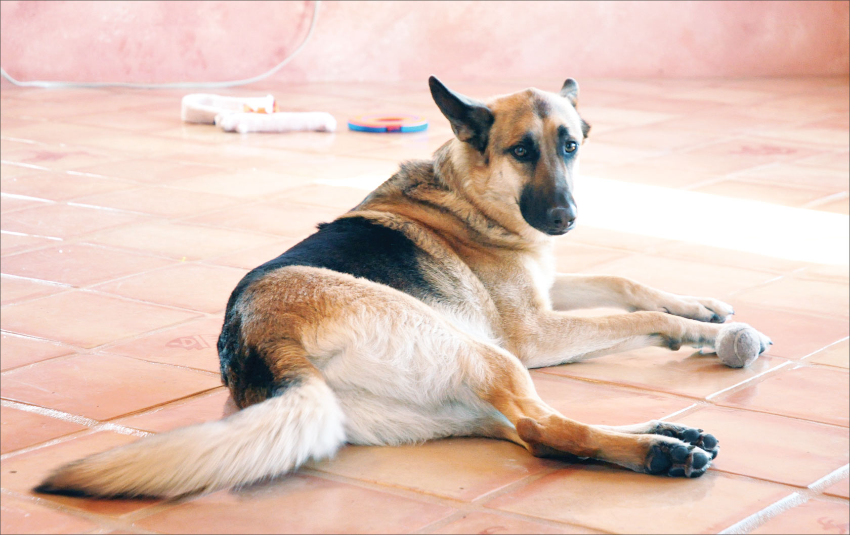 german shepherd whole dog journal