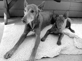 The Canine Aging Process