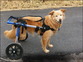 Handicapped Pets' Walkin' Wheels