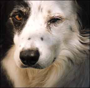 Causes Of Canine Conjunctivitis And