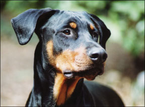 Doberman mix