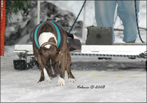 Competitive Canine Weight Pull