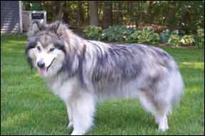 Properly Diagnosing Canine Hypothyroidism What Are The Signs