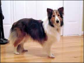 Properly Diagnosing Canine Hypothyroidism – What are the Signs?