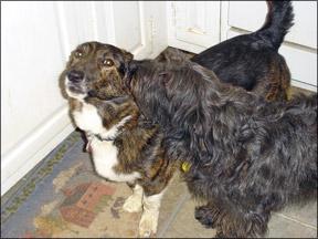 Obsessive Compulsive Behavior in Dogs