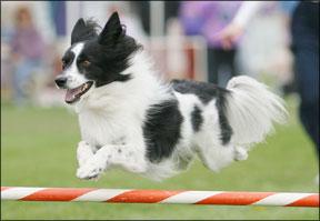 Dog Agility Sports