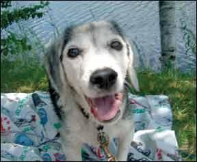dog with addisons disease