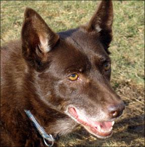 Training An Older Dog - Whole Dog Journal