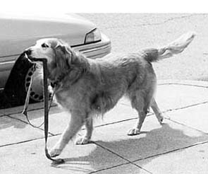 old dog carrying leash
