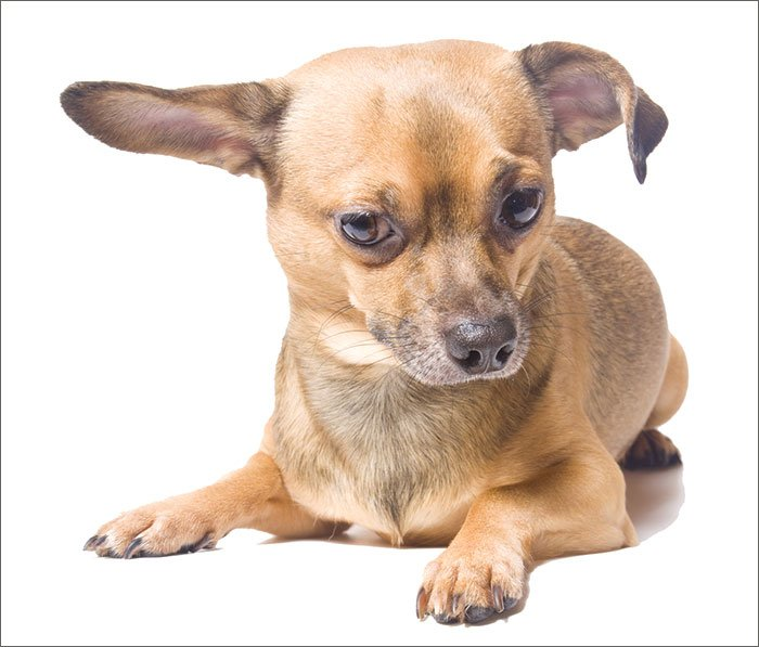 chihuahua ear hematoma