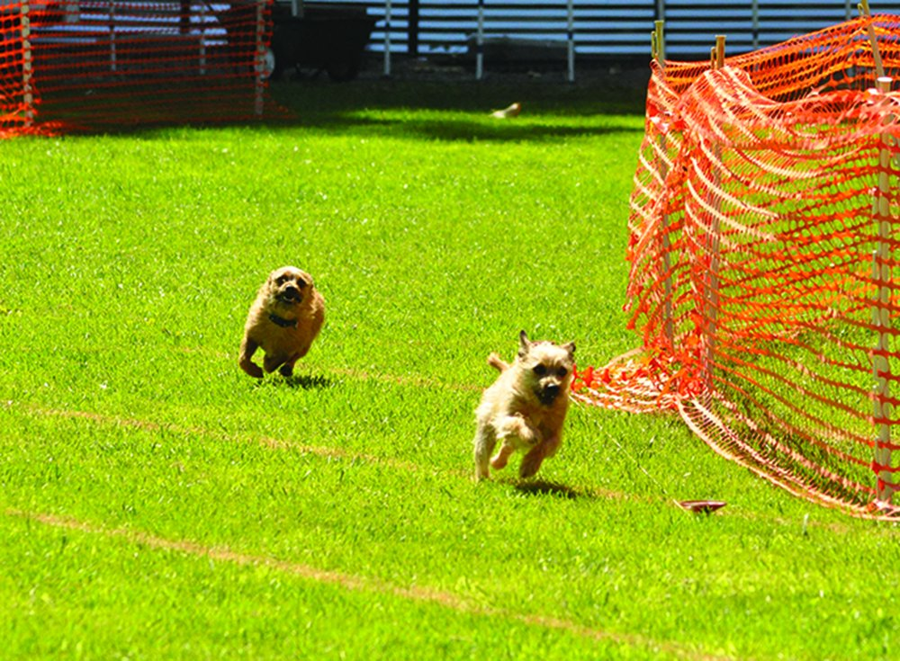 terrier lure coursing
