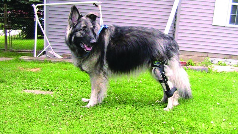 a shiloh shepherd with torn acl