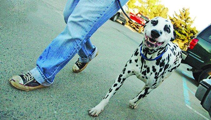 walking Dalmatian