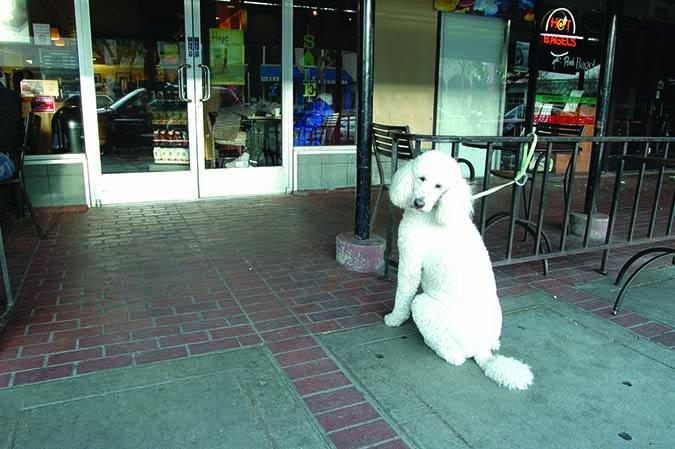 poodle waiting outside cafe