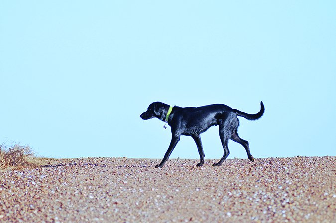 black dog pacing