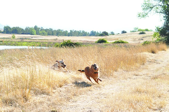 dog running in tall grass