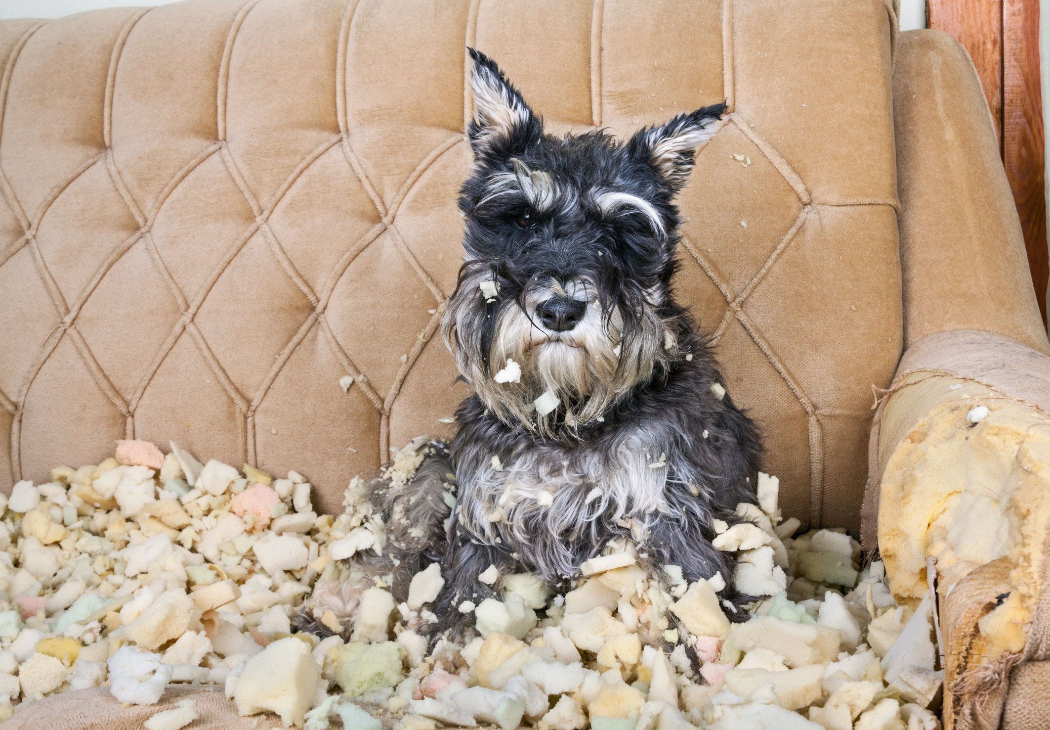 Schnauzer destroyed couch