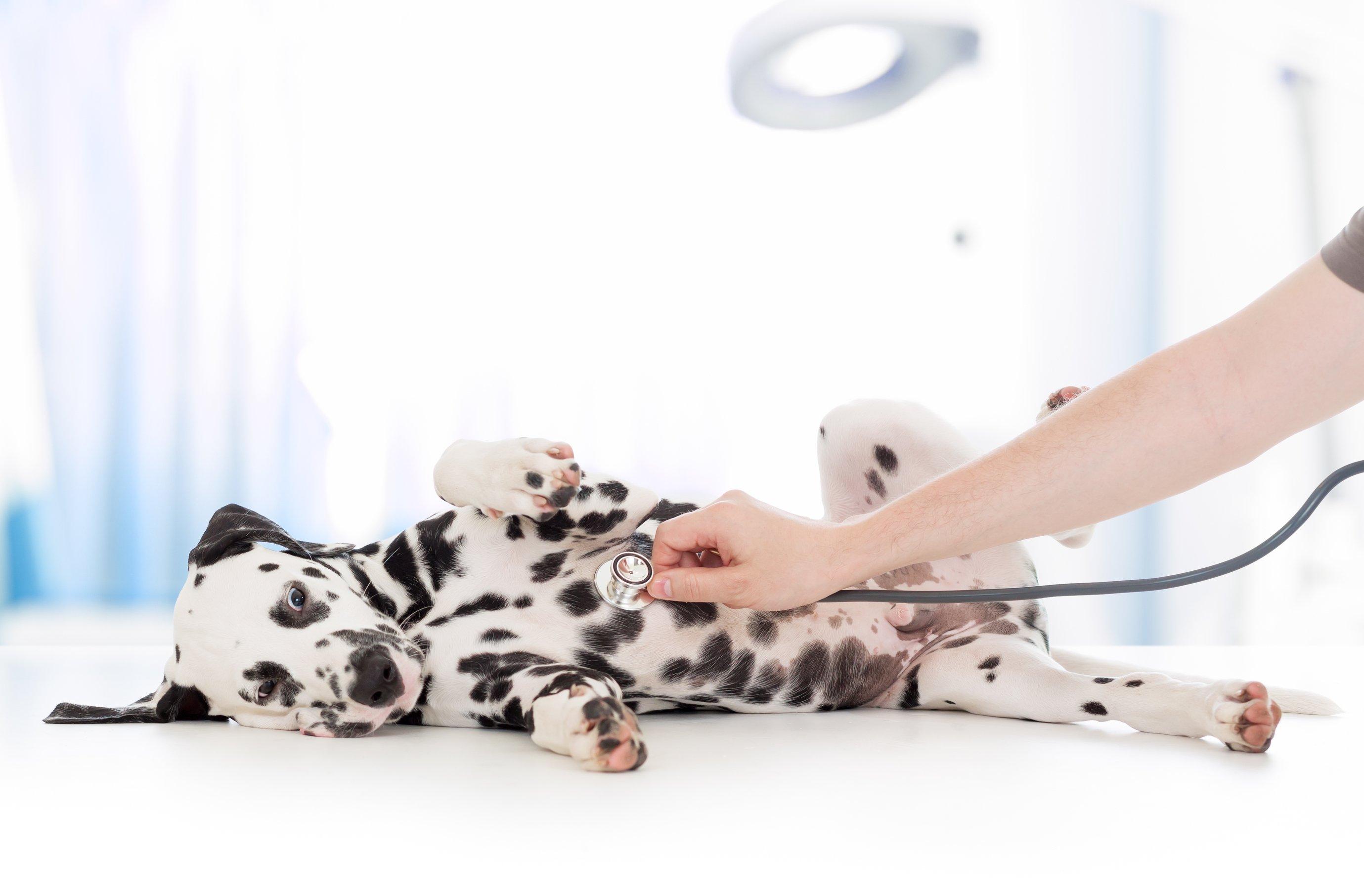 dalmatian at vet