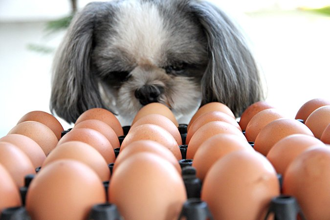 dog looking at eggs