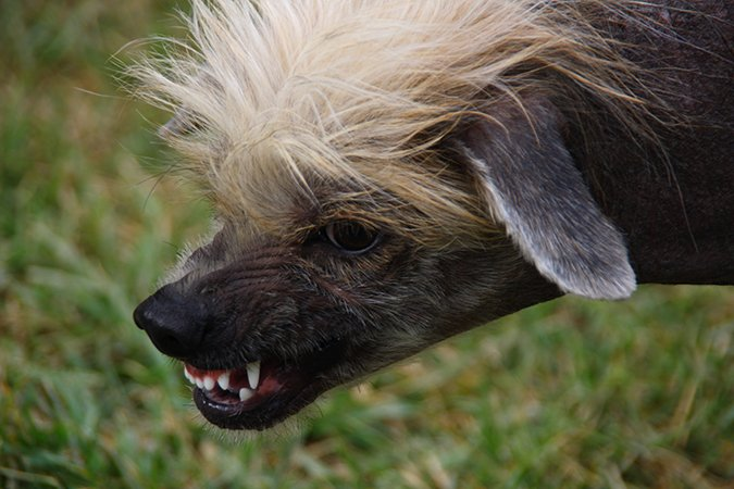 angry chinese crested dog