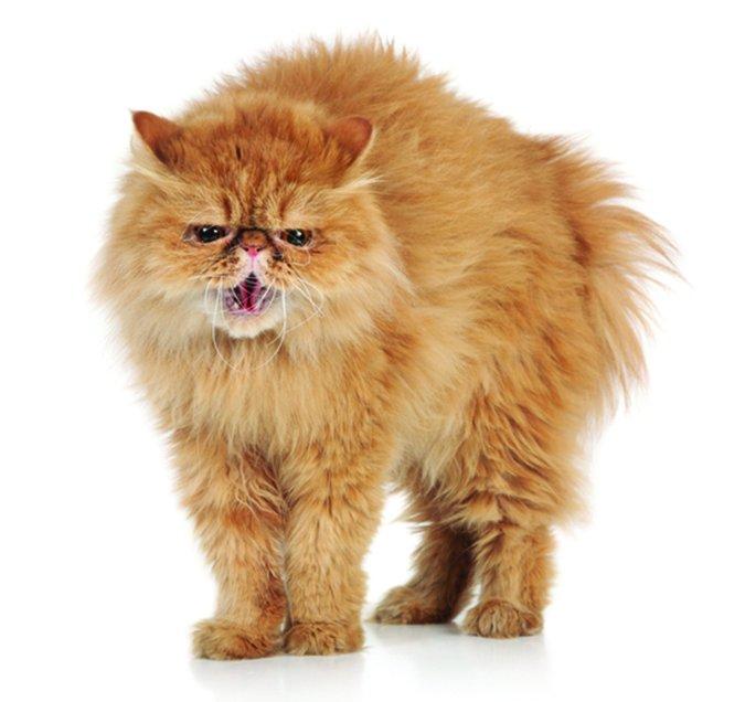 aggravated cat