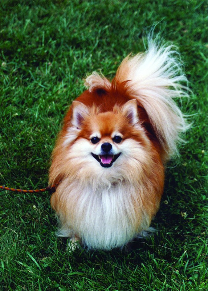 happy pomeranian