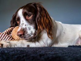 English Springer Spaniel dog