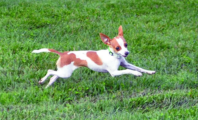 small dog leaping