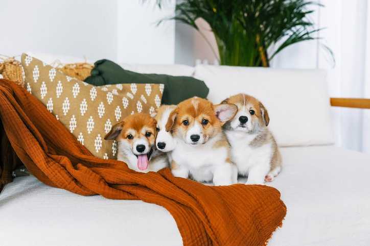 Corgi puppies on couch