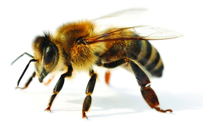 Excellent Dog Stung By A Bee Heres How To Treat It Whole Dog Journal Uwap Interior Chair Design Uwaporg