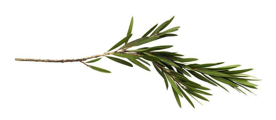 tee tree plant