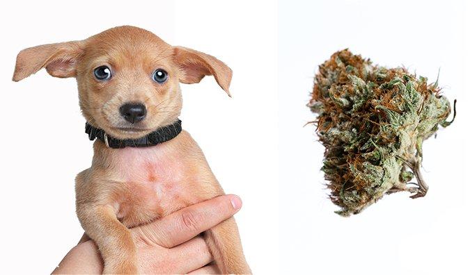 p1d8m65pfd1u4voup1pbo1hf31sp46 - Marijuana Toxicity in Dogs