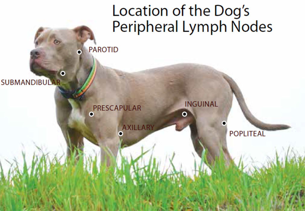 Canine Lymphoma: Risk Factors, Symptoms, Diagnosis, and