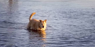 Dog wading in water
