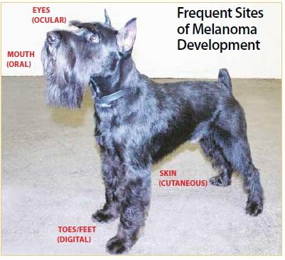 Canine Melanoma Whole Dog Journal