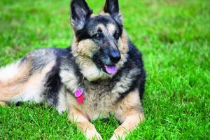 Canine Massage Case Reports